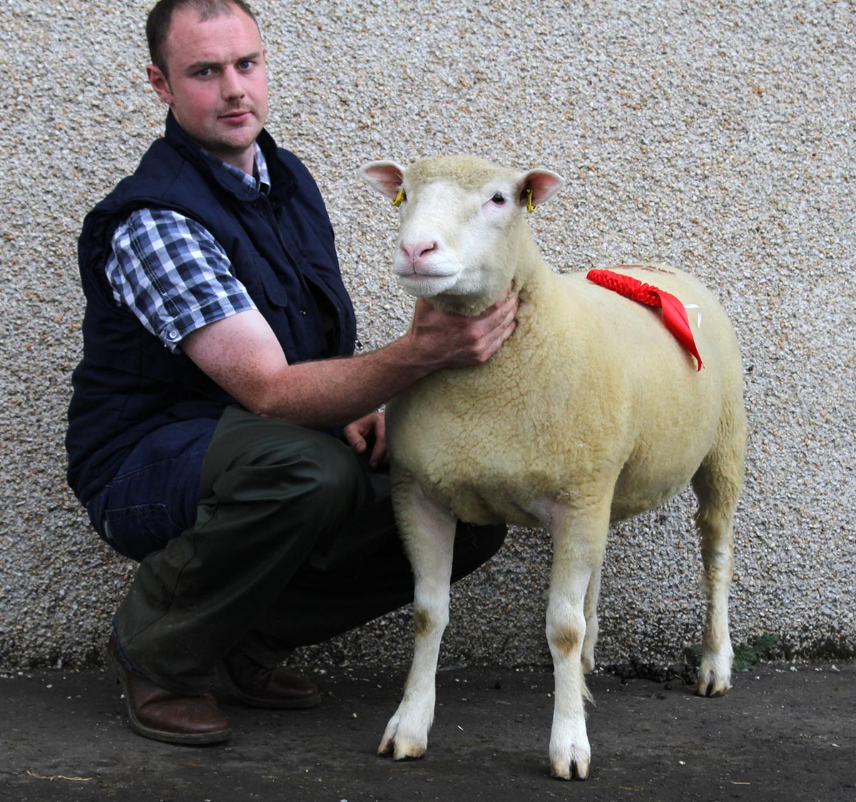 S P McCarry (Shearling Ewe)