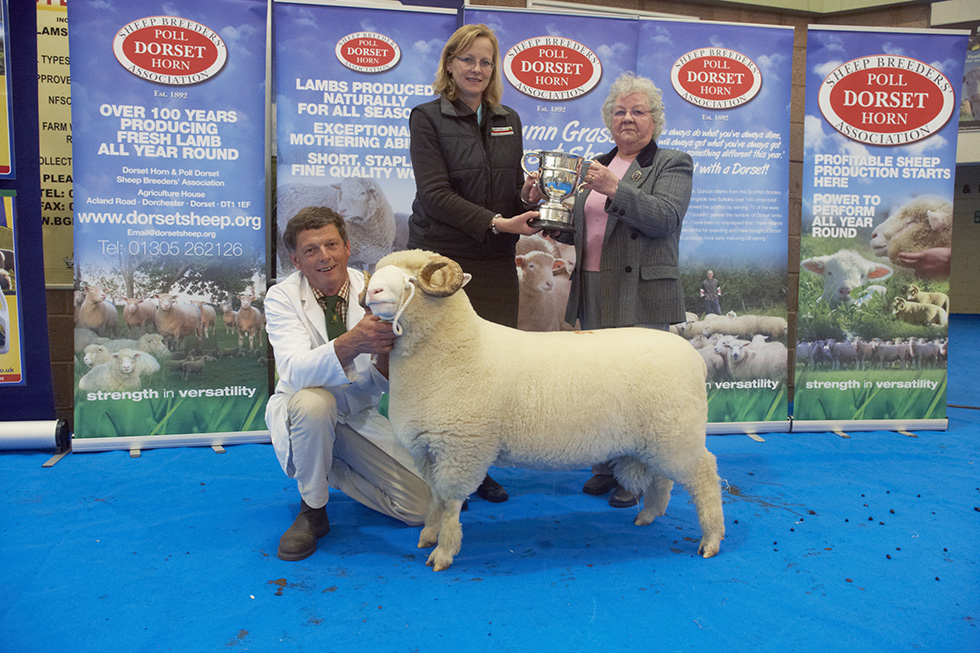 Dorsets May Fair 2013 - Best Horn Ram Lamb